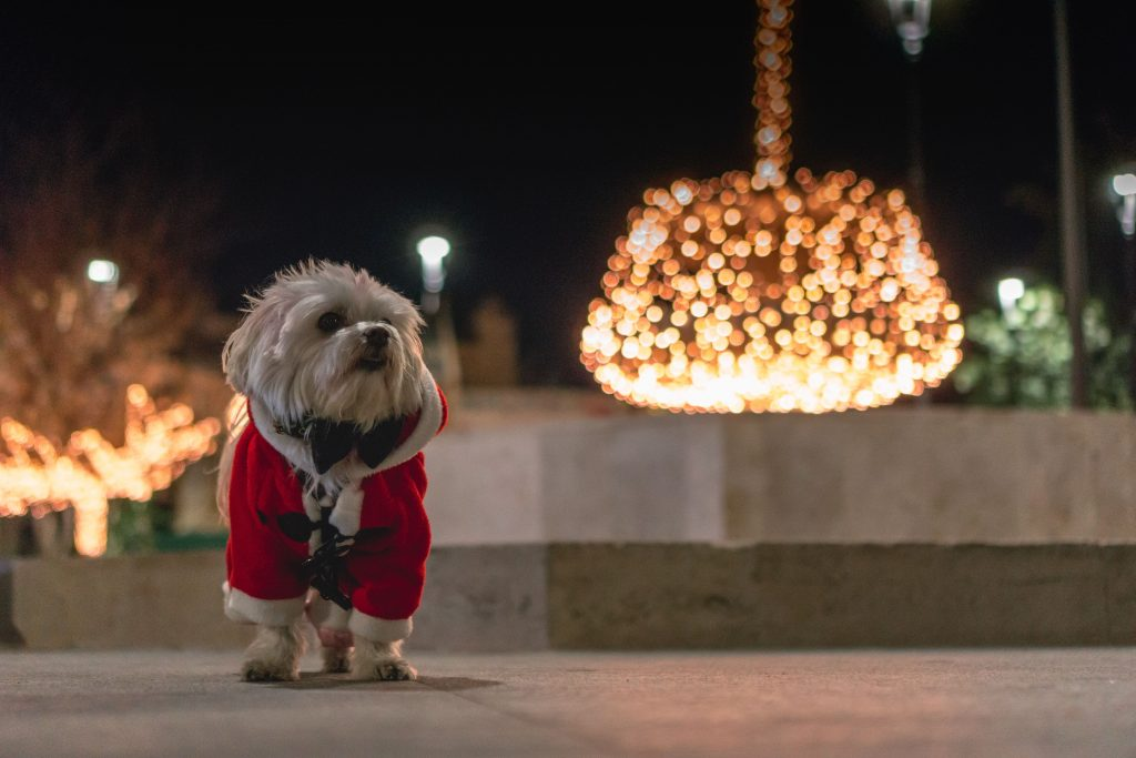 A small white dog is dressed in a Santa Suit standing by himself outdoors, backlit by a festive holiday lit up landscape.